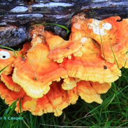 mushrooms-on-a-log