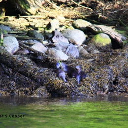 otters-on-the-shore